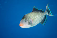 Trigger fish Stock Photography