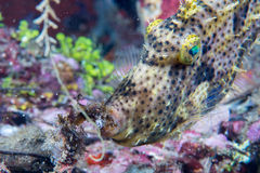 Trigger fish underwater close up portrait Royalty Free Stock Photos