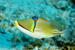 Triggerfische, Fische im Roten Meer Lizenzfreies Stockfoto