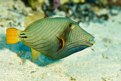 Triggerfische im Roten Meer Lizenzfreie Stockfotos