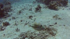 Triggerfish árabe de picasso en el mar tropical en el arrecife de coral metrajes