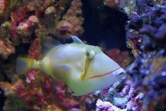 Triggerfish Бурсы Стоковые Изображения RF