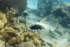 Triggerfish клоуна на острове Similan Стоковые Изображения RF
