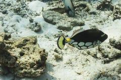 Triggerfish клоуна на острове Similan Стоковые Фото