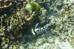 Triggerfish клоуна на острове Similan Стоковая Фотография RF