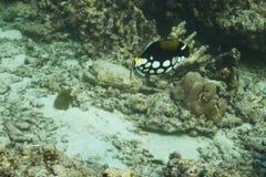 Triggerfish клоуна на острове Similan Стоковое Изображение RF