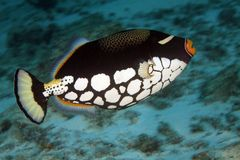 triggerfish клоуна Стоковая Фотография
