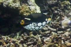 Triggerfish клоуна на национальном парке Surin Стоковые Изображения