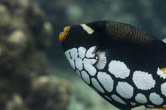 Triggerfish клоуна на национальном парке Surin Стоковая Фотография RF