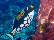 Triggerfish клоуна Стоковая Фотография RF