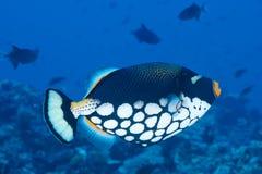 triggerfish Мальдивов клоуна Стоковая Фотография