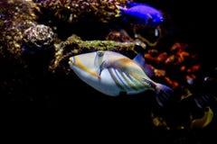Triggerfish Пикассо и голубая тянь Стоковая Фотография