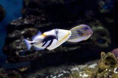 Triggerfish Пикассо рыб колючий Стоковые Изображения RF