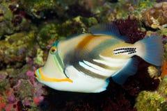Triggerfish Пікассо стоковая фотография