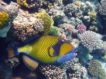 triggerfish титана коралла Стоковые Изображения