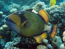 Triggerfish Royalty Free Stock Photo