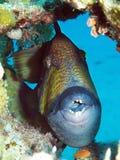 triggerfish Fotografering för Bildbyråer