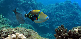 Triggerfish Photo stock