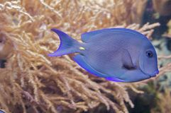 Triggerfish Royalty Free Stock Image