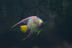Triggerfish Stock Photo