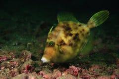 triggerfish Στοκ Εικόνα