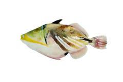 Triggerfish Lizenzfreies Stockfoto