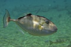 Triggerfish. Swimming in open water Royalty Free Stock Photography