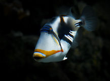 Triggerfish Fotos de archivo