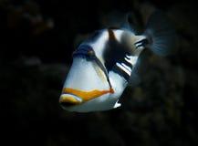 Triggerfish Fotografie Stock