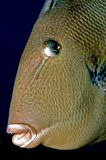 Triggerfish Image stock
