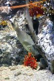 triggerfish royaltyfri fotografi