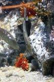 triggerfish arkivfoton