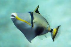 triggerfish Royaltyfria Foton
