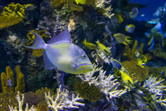 Triggerfish Images stock