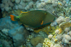 Triggerfish Alaranjado-listrado Imagens de Stock Royalty Free