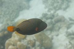Triggerfish alineado naranja en la isla de Surin Imagen de archivo libre de regalías