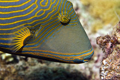 triggerfish Arancione-a strisce (undulatus di balistapus) immagini stock libere da diritti
