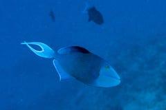 Triggerfish azul mientras que Maldivas que se zambullen Fotografía de archivo