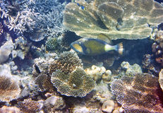 Triggerfish & x28; Balistidae& x29; över en korallrev Indiska oceanen Royaltyfri Fotografi