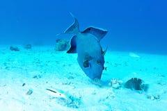 triggerfish bleu Images libres de droits