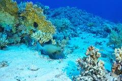 triggerfish bleu Image stock