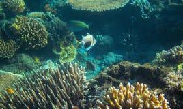 Triggerfish coloré en récif coralien Photo sous-marine d'habitants tropicaux de bord de la mer Photos libres de droits