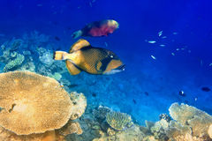Triggerfish in corals.Indian ocean Stock Photos