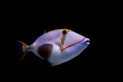Triggerfish de Blackbelly Imagem de Stock