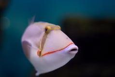 Triggerfish de Blackbelly Fotografia de Stock Royalty Free