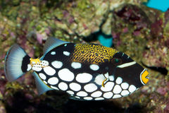 Triggerfish de clown Photos stock