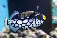 Triggerfish de clown Images stock
