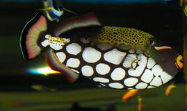 triggerfish de clown Photos libres de droits