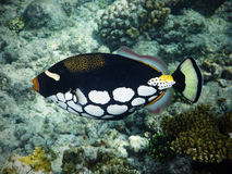 Triggerfish de clown en Maldives Photographie stock