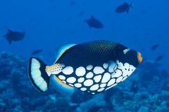 Triggerfish de clown, Maldives Photographie stock